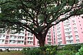 HK SMP 秀茂坪邨 Sau Mau Ping Estate Campion tree silk July 2018 IX2 08.jpg