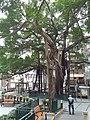HK SW 上環 Sheung Wan卜公花園 Blake Garden 老榕樹 Chinese banyan tree 氣根 root n trunk February 2020 SS2 12.jpg