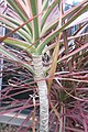 HK TKL 調景嶺 Tiu Keng Leng am 千年木 Dragon Tree 龍舌蘭科 Dracaena marginata Lam 灌木植物 plant red leaves Jan-2018 IX1 04.jpg