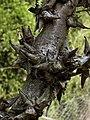 Hakea teretifolia subsp. hirsuta.jpg