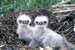 Bald eagle chicks (Haliaeetus leucocephalus) i...