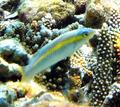 Halichoeres zeylonicus Maldives.png
