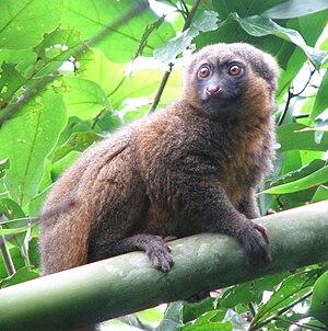 Golden bamboo lemur - Image: Hapalemur aureus 001
