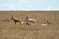 Hartebeests Serengeti.jpg