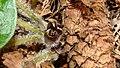 Haselwurz (Asarum europaeum) am Kolshorner Teich 02.jpg