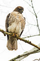 Hawk stops by ODOT (15365467453).jpg
