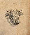Head of an ox. Drawing, c. 1789. Wellcome V0009138ETL.jpg
