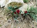 Hedysarum species - Flickr - brewbooks.jpg