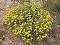 Helichrysum stoechas 4 (Espagne).JPG