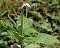 Heliotropium indicum W2 IMG 9791.jpg