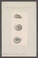 Helix collis - - Print - Iconographia Zoologica - Special Collections University of Amsterdam - UBAINV0274 089 01 0064.tif