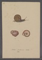Helix fruticum - - Print - Iconographia Zoologica - Special Collections University of Amsterdam - UBAINV0274 089 01 0028.tif