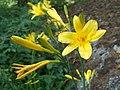 Hemerocallis lilio-asphodelus Keltapäivänlilja C VI06 9435.JPG