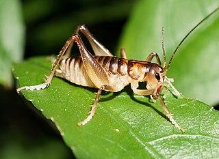<i>Hemiandrus</i> genus of insects