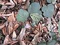 Henckelia repense-2-chemunji-kerala-India.jpg