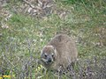 "Hermanus - Rock Hyrax or ""Dassie"" - panoramio (4).jpg"