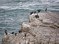 Hermanus Birds - panoramio.jpg