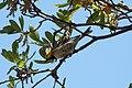 Hermit Warbler (male) Huachuca Canyon (upper) Sierra Vista AZ 2019-05-05 11-53-49 (33906774488).jpg