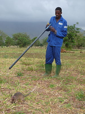 Giant pouched rat - A HeroRAT finds a land mine in a training field in Morogoro, Tanzania