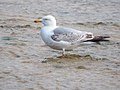 Herring Gull (19621691505).jpg