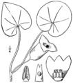 Hexastylis shuttleworthii BB-1913.png