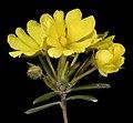 Hibbertia fasciculiflora - Flickr - Kevin Thiele.jpg