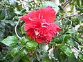 Hibiscus-002.JPG