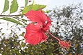 Hibiscus flower Botanic garden Limbe Cameroon.jpg