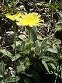 Hieracium peleterianum18.jpg