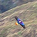 Himalayan Monal Uttarakhand India (11) (cropped).jpg
