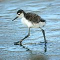 Himantopus mexicanus -Baylands Nature Preserve, California, USA -chick-8.jpg