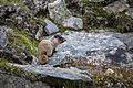 Hoary Marmot Juveline (3) - Marmota caligata (20864447953).jpg