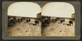 Hogs, Kansas, U.S.A, by Keystone View Company.png