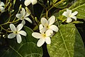 Holarrhena pubescens 09.JPG