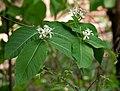 Holarrhena pubescens in Ananthagiri, AP W IMG 9244.jpg