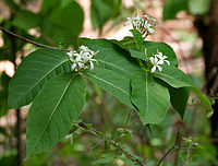 Holarrhena pubescens in Ananthagiri, AP W IMG 9244