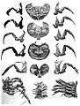Holm Eurypterus Fischeri plate 9.jpg