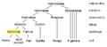Hominoid taxonomy Hominina-hr.PNG