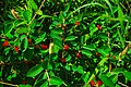 Honeysuckle (Lonicer sp.) (42227302154).jpg