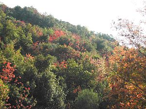 Pistacia palaestina - Image: Horesh Blossom 1