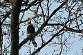 Hornbill in the forest.jpg
