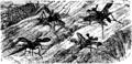 Horned Flies Mivart.png