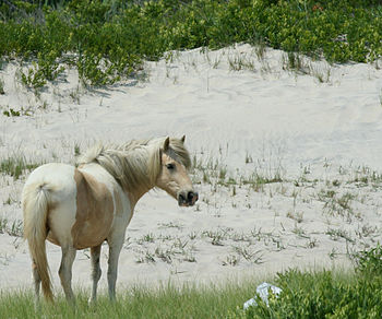 Wild Pony at Assateague Island National Seasho...
