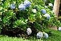 Hortensia (Hydrangea macrophylla) (14414371984).jpg