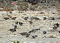 House Sparrow Passer domesticus feeding by Raju Kasambe DSCN2160 (1) 22.jpg