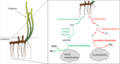 How tropical seagrasses mobilise phosphorus and iron.png