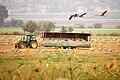 Hula Valley, cranes and visitors.jpg