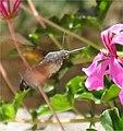 HummingbirdHawkMoth Small.jpg