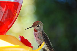 Hummingbird (Trochilidae) at a feeder full of red sugar water.jpg