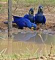 Hyacinth Macaws (Anodorhynchus hyacinthinus) drinking ... (31489925586).jpg
